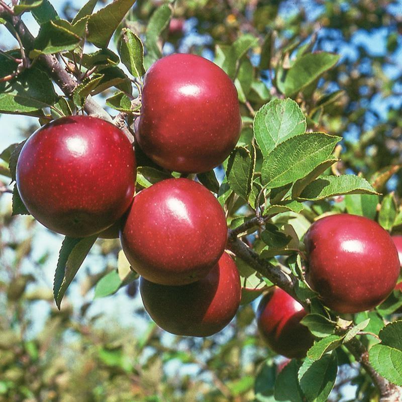 Arkansas Own Apple